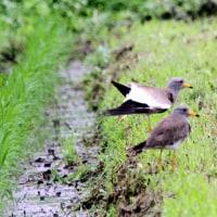 6/25探鳥記録写真:宮若市の鳥たち-1(ケリの威嚇飛行他)