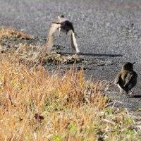 今朝の路傍の野鳥などのスナップ