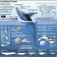 赤ちゃんザトウクジラは、シャチに気付かれないように、親とは小声。