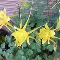 季節の花「苧環 (おだまき)」