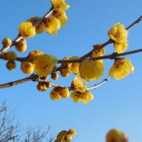 蝋梅が咲く・・・