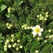 立山のお花