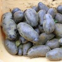 今年のジャガイモはまずまずでした