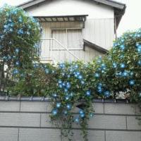 藍色のアサガオ