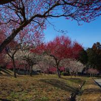 那珂川町(小川) ふれあいの森 梅林 29.3.16