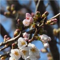 近隣の染井吉野開花、大島桜と連翹が満開、その他。