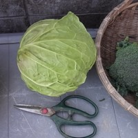 冬野菜の収穫