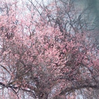 3月14日  春光に紅梅満開