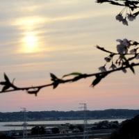 鹿島城跡公園の春爛漫