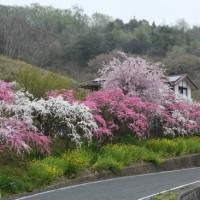 矢掛・圀勝寺の落ちツバキと花桃の里・野上を訪ねて 平成29年4月17日(月)