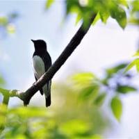 青い鳥・オオルリ1