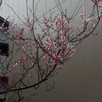今日の歳時記・杏の花