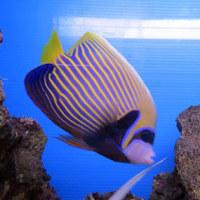 パープルファイヤーゴビーなど海水魚いっぱい入荷(^o^)丿