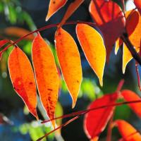 ハゼノキの葉が真っ赤に紅葉しています。 (Photo No.13853)