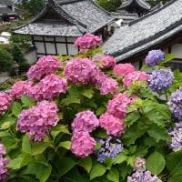 柳谷観音(楊谷寺)の紫陽花