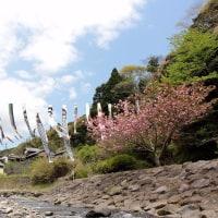 由比入山親水公園 の 枝垂れ桜 と 鯉のぼり