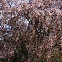 鹿沼市 板荷 小学校前の墓守桜 29.4.20