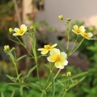 ウインターコスモスの花が咲く