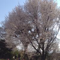 桜も人々も狂い咲き  福岡市舞鶴公園にて
