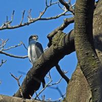 猛禽オオタカ成鳥と若鳥の姿を・・・