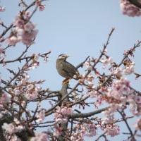 春に佇む~ムクドリ~