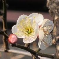 梅一輪の春・・・