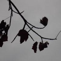 ユリの木の実をちょっぴり揺らして種を飛ばしてみました。