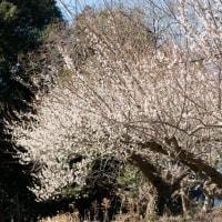 風は強いが晴天なので、梅と河津桜を撮ってみました。