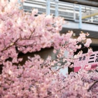 No.3801  桜の三浦海岸駅