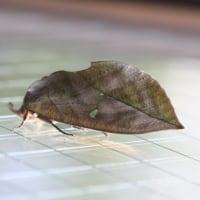 アケビコノハ(通草木葉蛾:ヤガ科の大形の蛾)