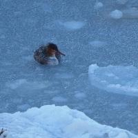 2017 銚子のカモメ・カモ・海鳥観察会記録 ウミアイサ 雌