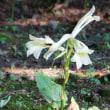 金沢城公園の「「ウバユリ(姥百合)」が開花。