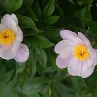5/14庭の花