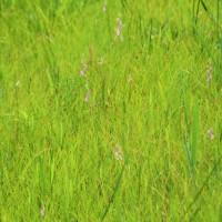 今治市の蛇池湿地のサギソウはまだのようです