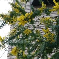 布花ミモザ咲きました。渋い魅力の枯れ色です