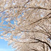 sakura並木。