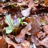 雨の林床にカタクリの花