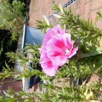 ゴデティアの花