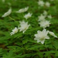 新緑の森にキンラン咲く・キツツキは虫の気配を聞く