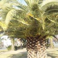 春のカナリー椰子