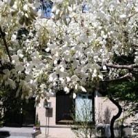 庭の「白い藤の花」が咲きました。