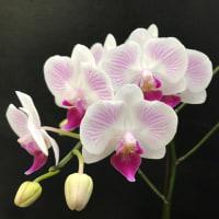 専務の作った胡蝶蘭新品種