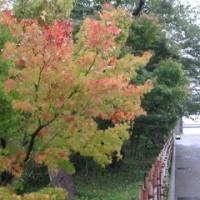 金沢城公園の紅葉始めとアオサギなど