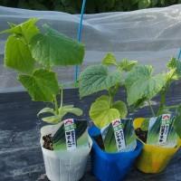 胡瓜の定植、2回目。