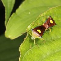 クマノミズキに集まる昆虫
