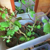 49日経過・野菜の苗を来年に引き継ぐ試み。