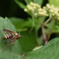 コアシナガバチは葉の上で一休み