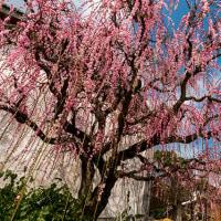 2017 花咲く唐津花めぐり 枝垂れ梅吉村家 3(ここにも樹齢80年の枝垂れ梅が空からこぼれるように咲いていた)《唐津市浜玉町》