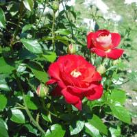 元気回復 バラの希望