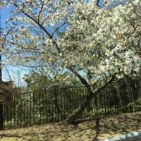 六甲山ではまだ桜がみれました。